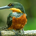 Green-and-Rufous Kingfisher (female)