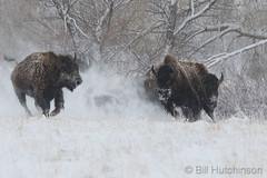 April 16, 2020 - Bison play in the snow. (Bill Hutchinson)