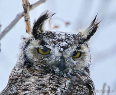 April 16, 2020 - A very cold owl. (Bill Hutchinson)