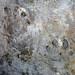 Megabaropus hainesi (amphibian tracks) (Benwood Limestone, Monongahela Group, Upper Pennsylvanian; Haine's Farm, Morgan County, Ohio, USA) 1