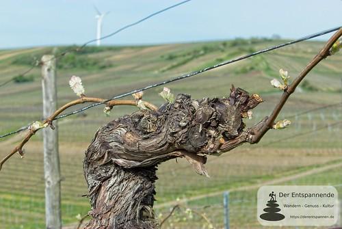 Frühling in den Weinbergen über Selzen