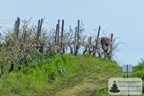 Greifvogel in den Weinbergen über Selzen
