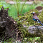 A jay in the forest