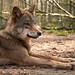 Der Wolf ...