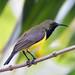 Male Olive-backed Sunbird, taken in my garden