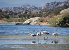 Flamingos at Lake Bafa
