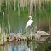 pond egret