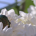 Flower chafer on lilac flowers