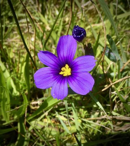"Mammoth iris ""Blue-eyed grass,"" Sisyrinchium sp."