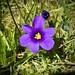 Mammoth iris