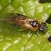 Pergid Sawfly - Acordulecera species, Merrimac Farm Wildlife Management Area, Aden, Virginia