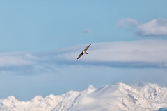 April 18, 2020 - A peregrine falcon and the snow-covered Rockies. (Tony's Takes)