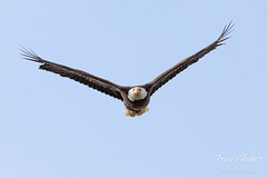April 19, 2020 - Bald eagle head on. (Tony's Takes)