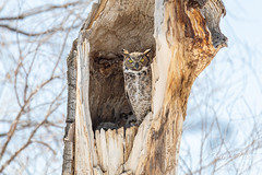 April 17, 2020 - Mama great horned owl and three little ones. (Tony's Takes)