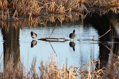 April 18, 2020 - Ducks hanging out. (Bill Hutchinson)