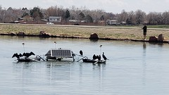 April 19, 2020 - Cormorants drying off at the rec center. (Alisa H)
