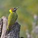 Lesser Yellownape Woodpecker