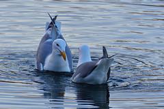 20200409 Oak Bay Gulls
