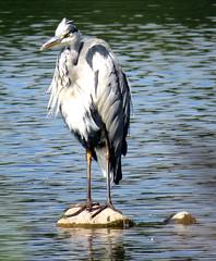 Heron at Brocholes
