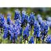 Blue jewels - grape hyacinths