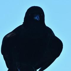 20200420 Oak Bay Crow