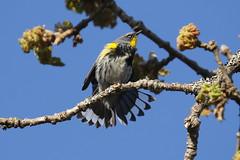 Yellow-rumped Warbler (Audubon's) - Mt Tolmie, Victoria BC
