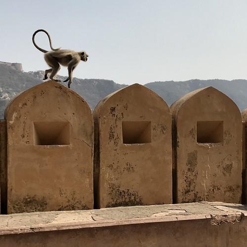 Roaming monkey