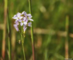Pinksterbloem - Flor pentecostal - Pentecostal flower