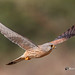 A Common Kestrel in Flight