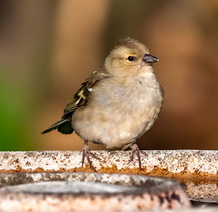 Garden 22-23.04.20 Juvenile female Chaffinch-1