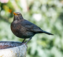 Garden 20-21.04.20 Mrs Blackbird-1