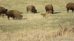 April 23, 2020 - The first baby bison of the season. (‎Bill McClintock)