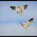 Black-shouldered KIte: Hang on Dad, I've got this One!