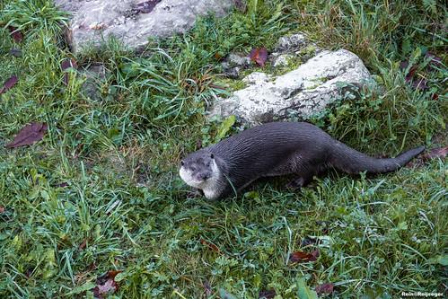 Otter - Nutria