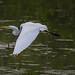 Great egret in a slough adjacent the Mississippi River