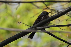 Gråsparv (House Sparrow)