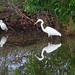 Little egret (L) Intermediate egret (R) - Sungai Batu mangroves, Merbok, Kedah, Malaysia - Feb 2020