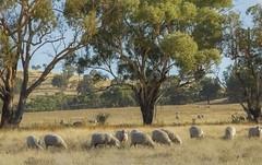 Spanish Sheep (merino), Bathurst, Australia
