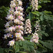 Horse-chestnut Candles
