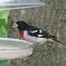 Rose-breasted grosbeak, male  (thru glass)