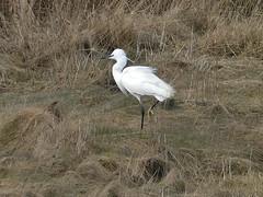 Photo of Little Egret