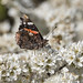 Red Admiral on Blackthorn blossom