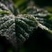 Dewey Leaf