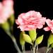 Soft Pinks - Lenswhacking