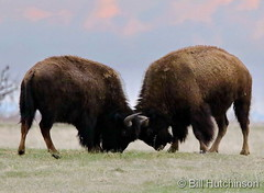 April 25, 2020 - Bison go head to head. (Bill Hutchinson)