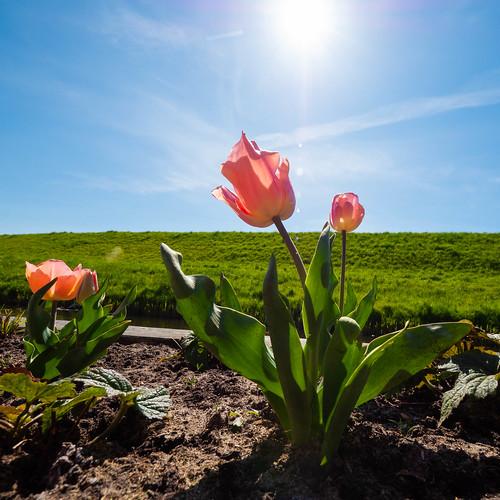 Tulips in my new garden