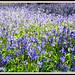 Bluebells: Hyacinthoides non-scripta