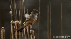 April 26, 2020 - A Say's phoebe keeping watch. (Jessica Fey)