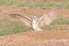 April 25, 2020 - A burrowing owl shows off. (Tony's Takes)