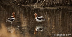 April 26, 2020 - A pair of American avocets in the water. (Jessica Fey)